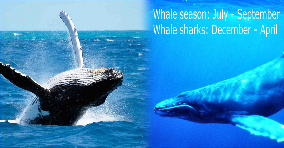 Whale season in Panama